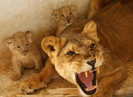 leeuwin die haar welpen beschermt